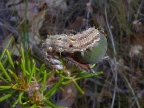 Caterpillar 17