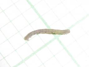 Caterpillar 19