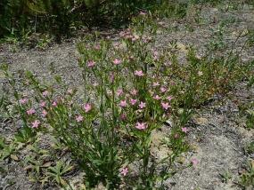 Schenkia australis