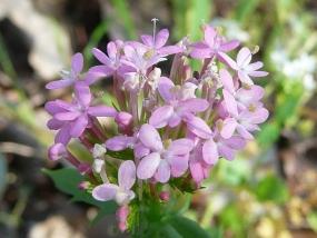 Centranthus macrosiphon