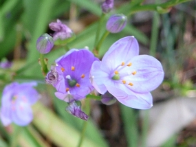 Chamaescilla corymbosa