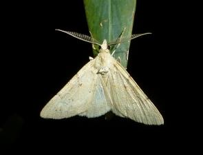 Chlenomorpha lygdina