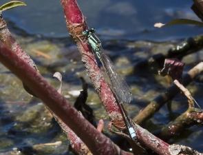 Ischnura heterosticta, Common Bluetail
