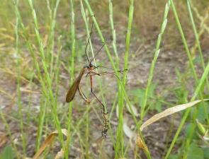 Harpobittacus similis, Common Western Scorpionfly