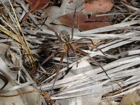Corasoides occidentalis