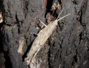Coryphistes ruricola