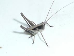 Katydid 6