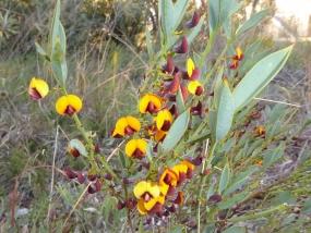 Daviesia nudiflora