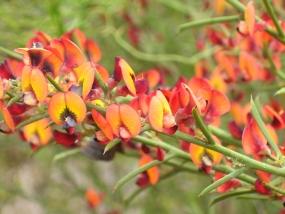 Daviesia physodes