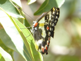 Spotted jezebel, Delias aganippe