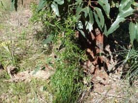 Dioscorea hastifolia