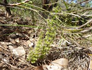 Drosera stolonifera ssp porrecta