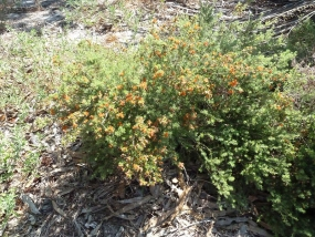 Eremaea pauciflora