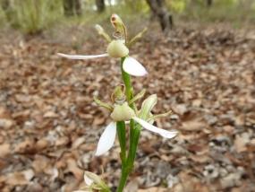 Eriochilus dilatatus ssp multiflorus
