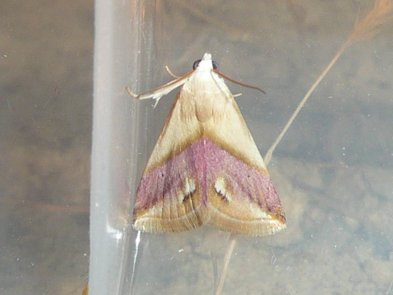 Eublemma cochylioides