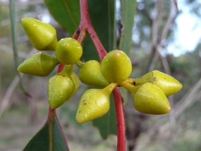 Eucalyptus rudis