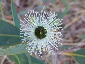 Eucalyptus todtiana
