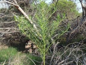 Gomphocarpus fruticosus