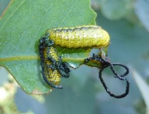 Gonipterus scutellatus