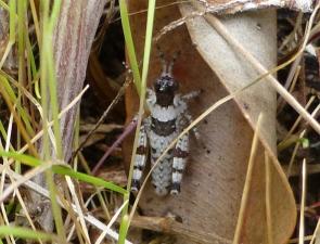 Grasshopper 13