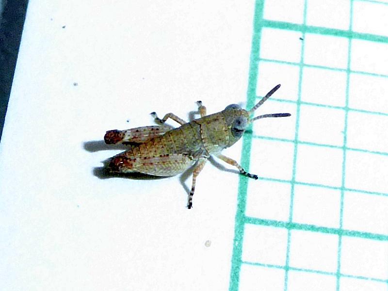 Grasshopper 16