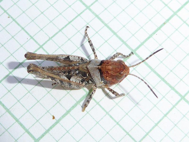 Grasshopper 19