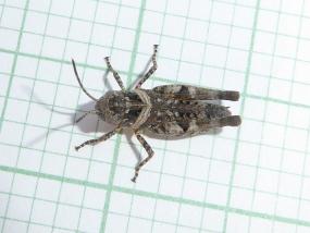 Grasshopper 22