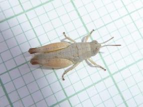 Grasshopper 23