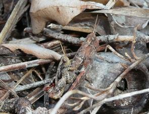 Cedarinia fuscotibialis