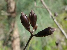 Haemodorum laxum