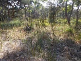 Haemodorum spicatum