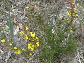 Hibbertia racemosa shrub