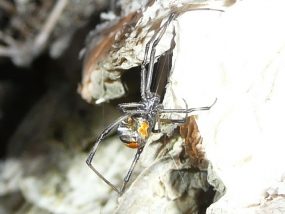 Red-backed Spider, Latrodectus hasselti