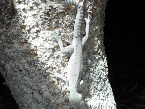 South-western Spiny-tailed Gecko, Strophurus spinigerus