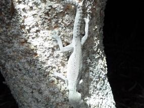 South-western Spiny-tailed Gecko, Strophurus spinigerus
