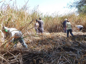 Removing Typha