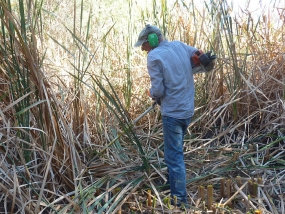 Slashing Typha
