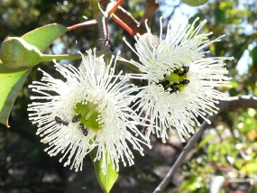 Ants in the flowers of Corymbia calophylla