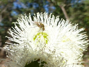 Fly on the flower of Corymbia calophylla