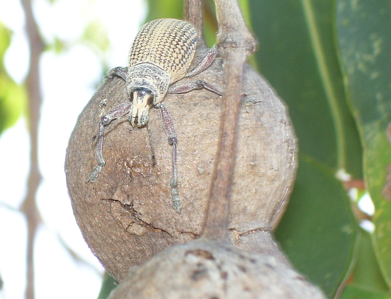 Weevil on the fruit of Corymbia calophylla