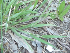 Hordeum leporinum