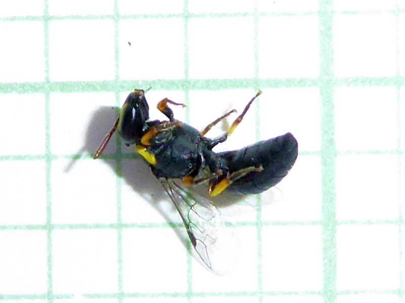 Hylaeus (Gnathoprosopis) sp