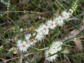 Hypocalymma angustifolia
