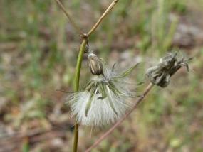 Hypochaeris glabra seed head