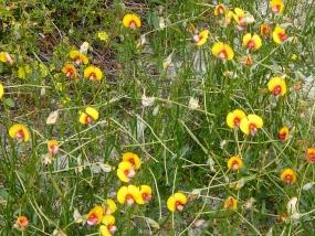 Isotropis cuneifolia