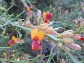 Jacksonia furcellata