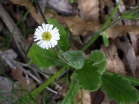 L. huegelii