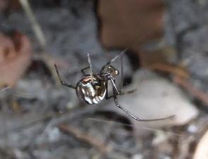Redback Spider, Latrodectus hasselti