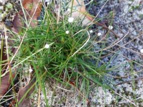 Laxmannia squarrosa