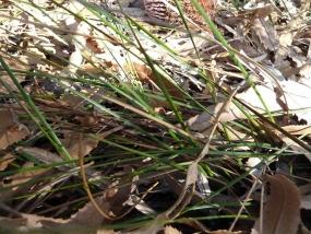 Lepidosperma scabrum